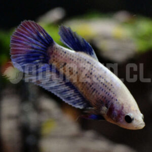 Betta hembra colores