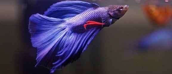 peces tropicales pez betta macho
